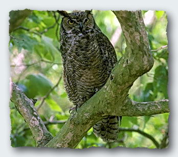 The owl is a tentacle of the tree spirit, ranging out to gather food and dropping nitrates and phosphates to fertilize the tree. © http://www.thread-of-awareness-in-chaos.com/order.html